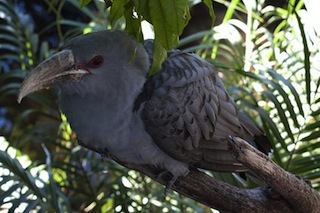 Channel-Billed Cuckoo Bilby CC 3.0