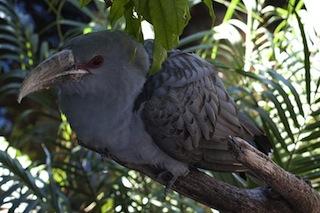 Channel-Billed Cuckoo Bilby CC 3.0